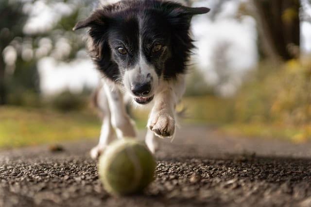 Chien qui joue avec une balle.